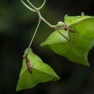 Liána Cardiospermum - citlivá pleť TianDe