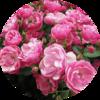 muškát růže